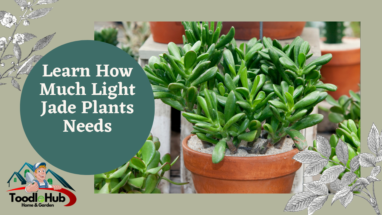 How much light does a jade plant need?