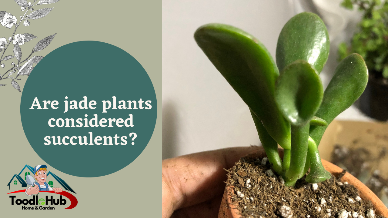 Are jade plants succulents